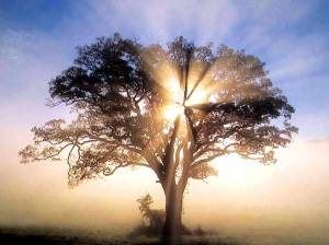 oak tree with sunlight